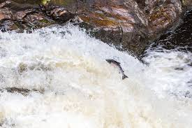 Salmon at Falls of Shin