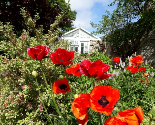 Poppies in Garden at Embo House